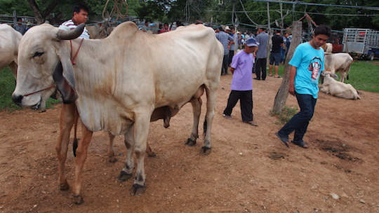 Frans Betgem took this picture of an ox at Sanpatong Market in 2014.